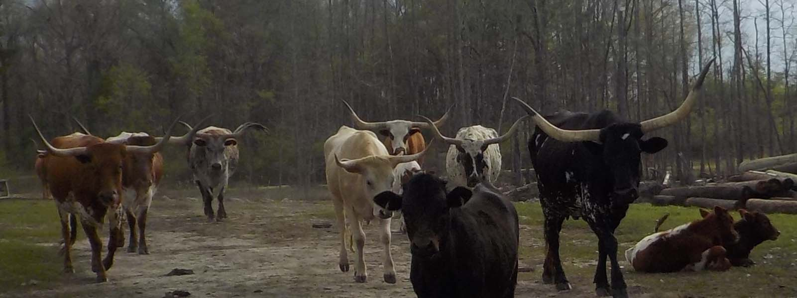 Longhorn cattle grazing at A-Okay campground